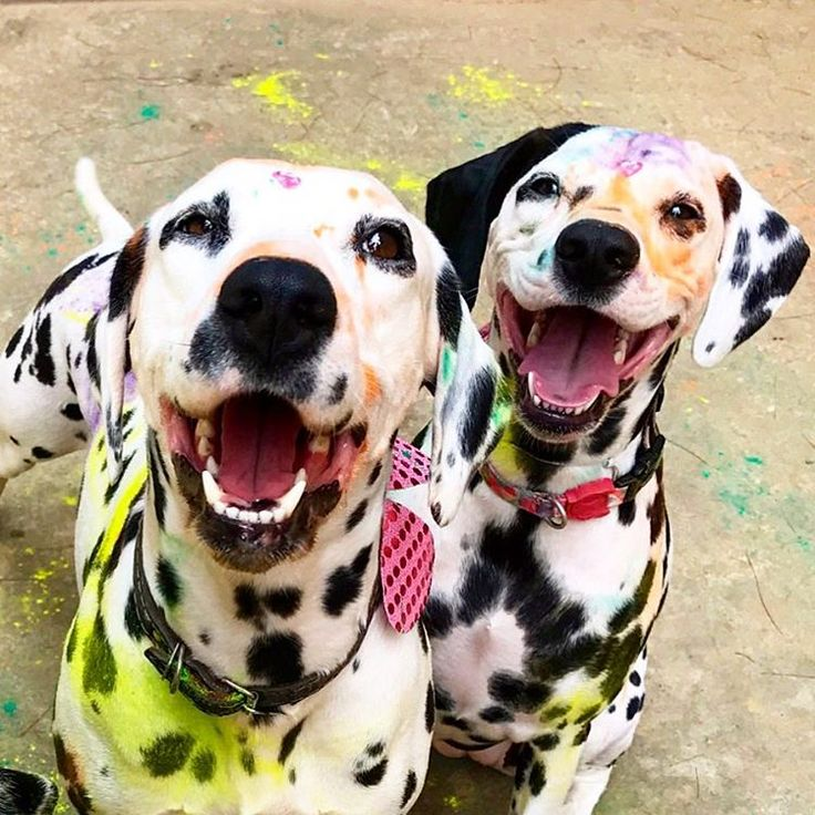 How Many Puppies Can A Dalmatian Dog Have