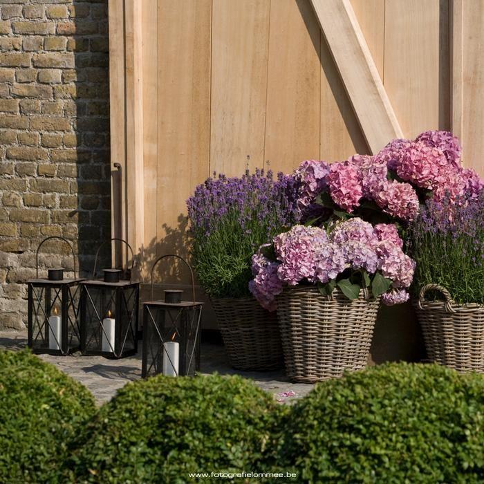 Hydrangeas and lavender