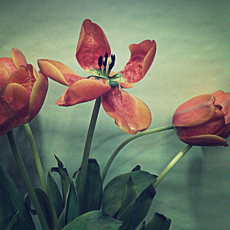 tulips in my shop, tulipanes en mi tienda