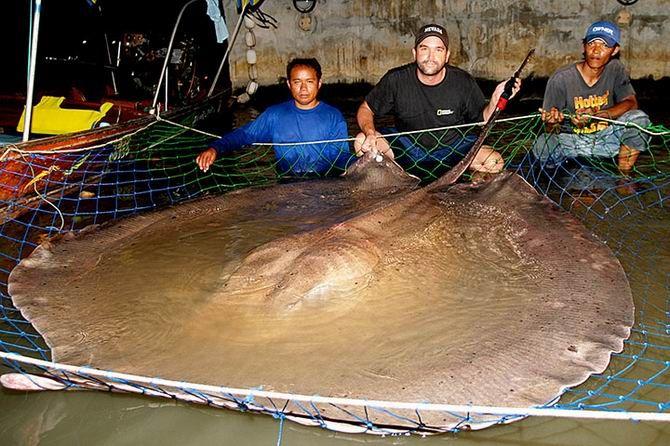 5. La méduse de Nomura de 200 kilos et une raie geante d'eau douce de 600kg