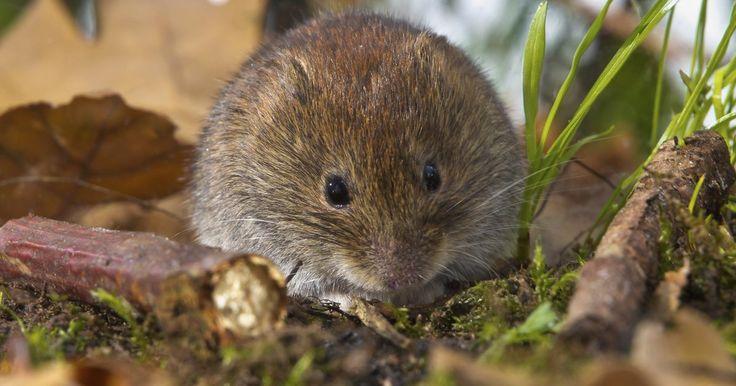 Como se livrar de ratos do campo. Os ratos do campo são pequenos roedores que fazem tocas subterrâneas e criam túneis intricados em seu quintal e jardim. Eles comem plantas, matam árvores e geralmente destroem o solo. Estes ratos também podem ter raiva e, por isso, representar um perigo para seus animais de estimação. Se livrar dessas pragas pode ser um pouco frustrante, mas ...