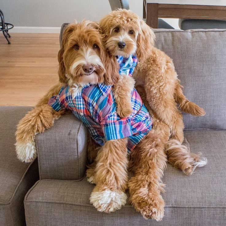 'I Love my Daddy very much!' - Reagan & Lincoln, Australian Labradoodle Dogs