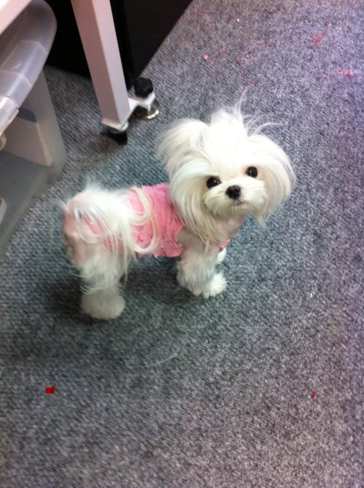 cute maltese haircuts 186 best maltese cuts images on cat 4082 | b078acc1835e5d0b62cfc92f22f7e61d valley girls maltese puppies