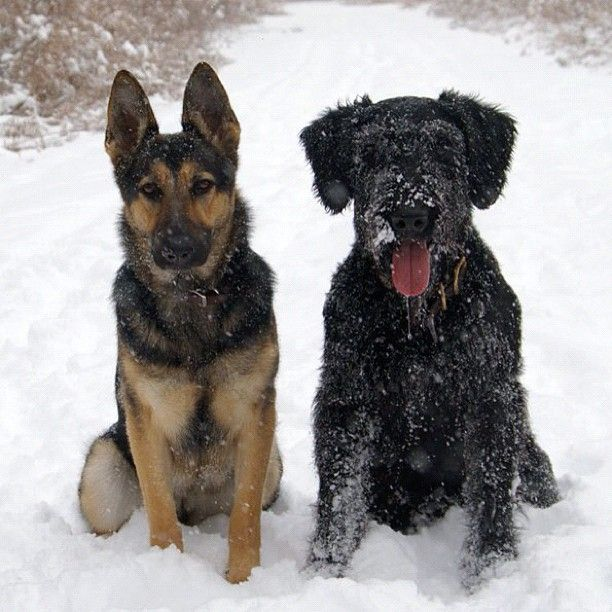 Giant Schnauzer and German Shepherd