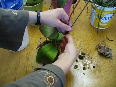 PASO A PASO - Transplante de Orquídea Phalaenopsis Enferma - Caso # 1 (...