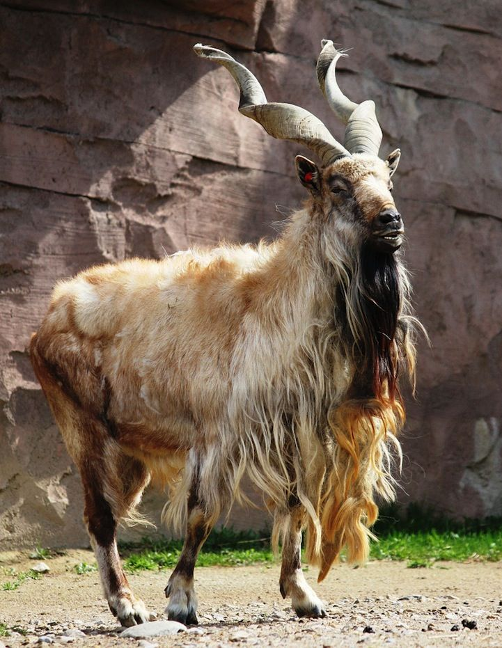 The markhor is a large species of wild goat that is found in ...