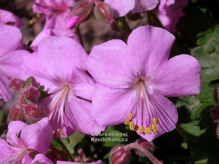 """Geranium cantabrigiense """" Cambridge """" - kakost Zahradnictví Krulichovi - zahradnictví, květinářství, trvalky, skalničky, bylinky a koření"""