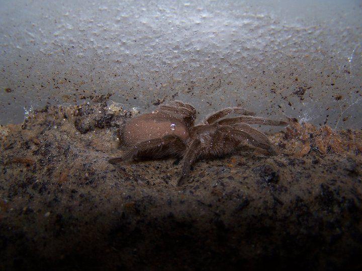 Australian Bird-eating Spider Selenocosmia crassipes