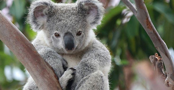COALA: Os icônicos coalas da Austrália enfrentam a desnutrição e a fome como consequência de mudanças climáticas. Segundo relatório da IUCN (União Internacional para a Conservação da Natureza e dos Recursos Naturais), o excesso de dióxido de carbono na atmosfera faz as plantas crescerem mais rápido, porém com menores níveis de proteína. Assim, animais como o coala, que se alimentam principalmente de eucalipto, não têm boas fontes de alimento. A Fundação Australiana de Coalas afirma que em…