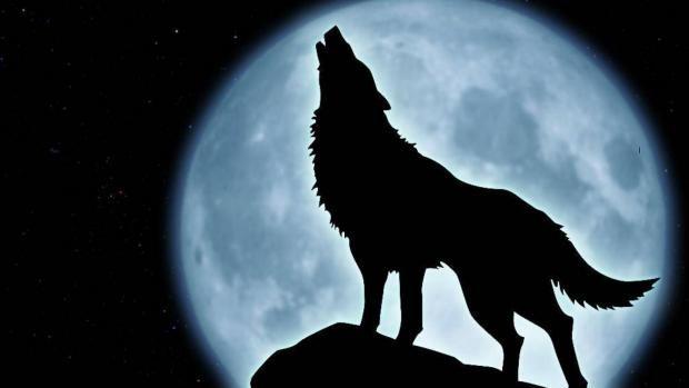 Los lobos aúllan porque se preocupan por los que no están con ellos