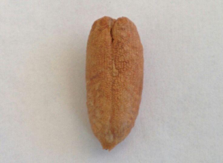 Semilla de palmera canariensis