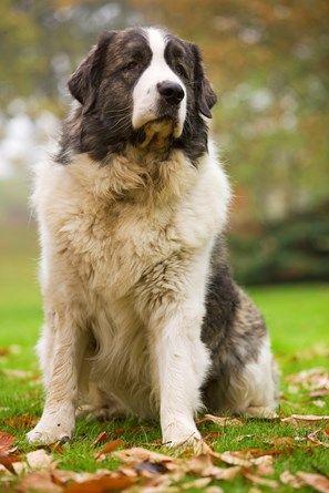 Dog - Pyrenean Mastiff. Also known as Mastín del Pirineo