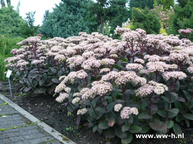 Sedum 'Matrona' is another tall sedum variety to consider, this one has dark stems and leaves and is quite striking.