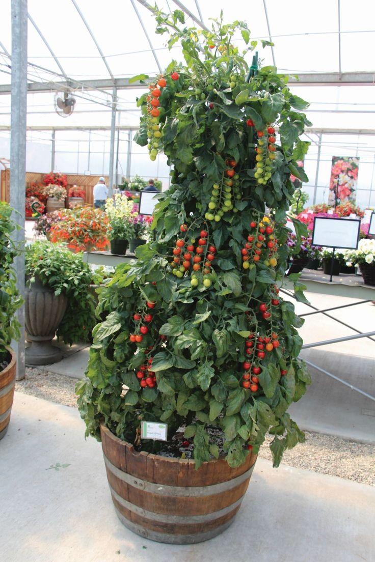 'Sugar Gloss' tomato from Vegetalis. I'm fascinated by this plant. California Spring Trials: 10 New Edible Varieties To Consider For 2015 [Slideshow] | Greenhouse Grower
