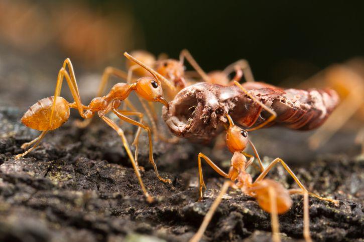 Recetas caseras para combatir a las hormigas