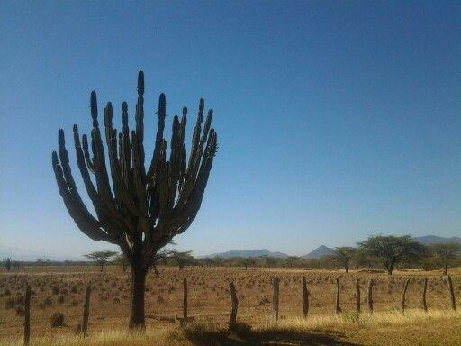 Cactus en La Sabana. Valledupar Colombia.
