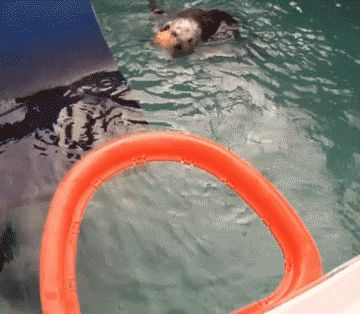 Is this the sea otter equivalent of Jordan from the free-throw line? You bet.   Inspiring Arthritic Sea Otter Dunks A Basketball Like ABoss