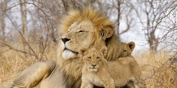 petition: STOP CANNED LION HUNTING!