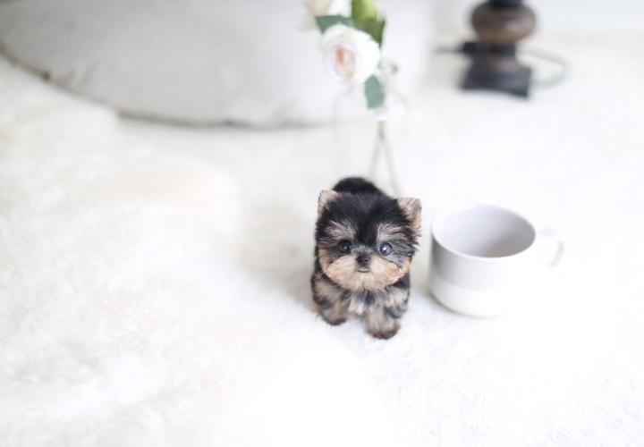 Welcome To Foufou Puppies The Home Of The World S Most Exquisite Micro Teacup Puppies For Sale Ask Fo In 2020 With Images Teacup Puppies Puppies For Sale Teacup Puppies For Sale