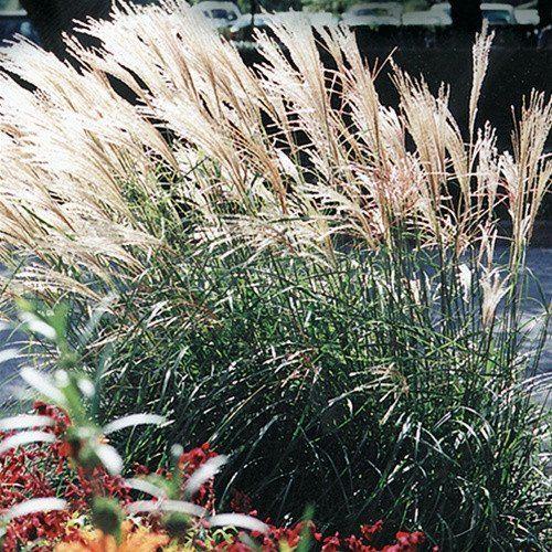 Adagio Maiden Grass for Sale Online – Greener Earth Nursery