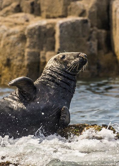 Hellllllllllo! Grey Seal Farne Islands Seahouses, Northuberland