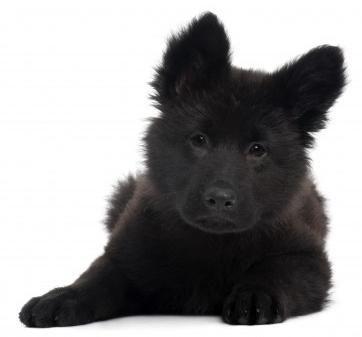 Google Image Result for http://www.dogs-central.com/german-shepherd-dogs/images/adorable-black-german-shepherd-puppy.jpg