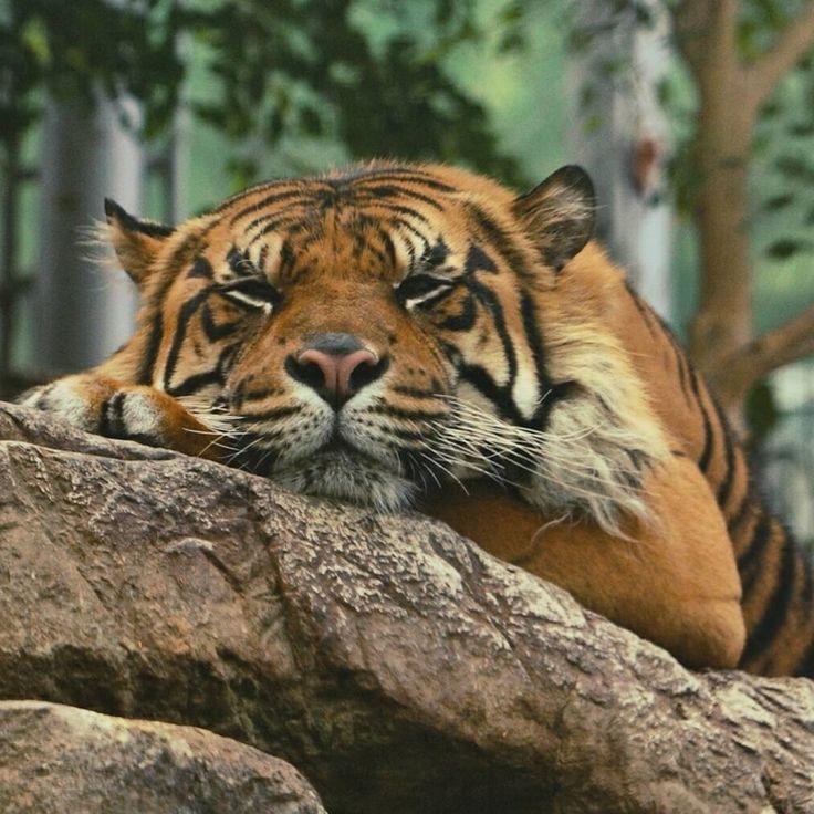 Folge uns Wenn du Tiger Christine liebst. . Via Martin Shaw *** Reposted von @ins …   – Tier