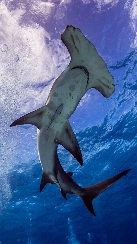 best images about sharks swim great white shark hammerhead shark