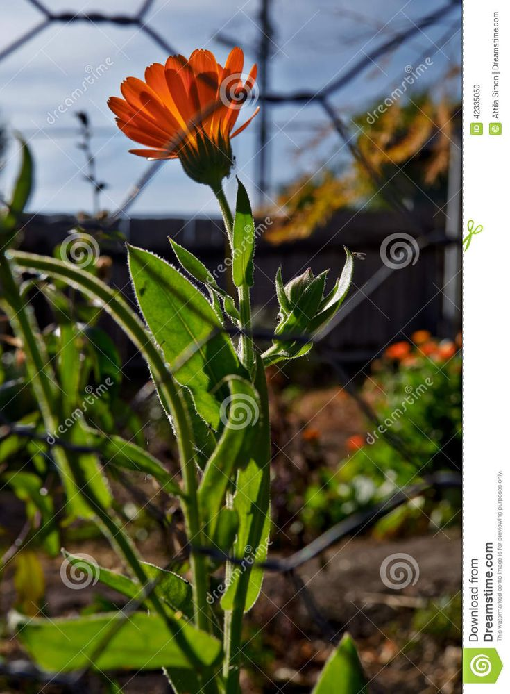 Marigold flowers behind a wire fence countryside