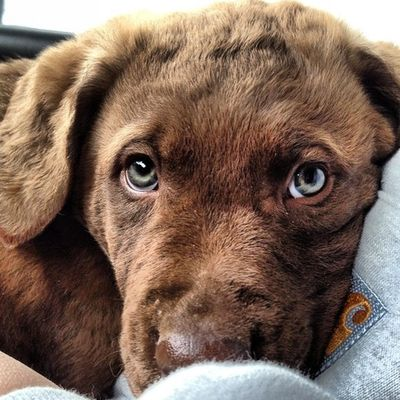 Everyone meet my new Chesapeake Bay Retriever .. Mako!