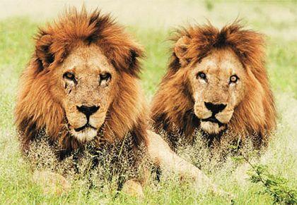 İki çobanı yediler  Nijerya'nın kuzeyinde aslanlar, iki çobanı yedi. Çevre Dairesi yetkilileri, Yobe eyaletinin Gujba kentinde ormanlık alanda çobanlara saldıran aslanların 30 büyükbaş hayvanı da telef ettiğini açıkladı.