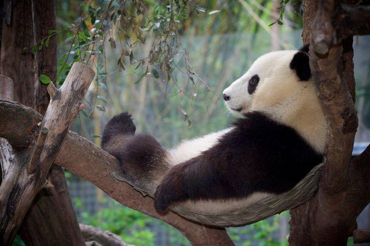 #Panda #pandas
