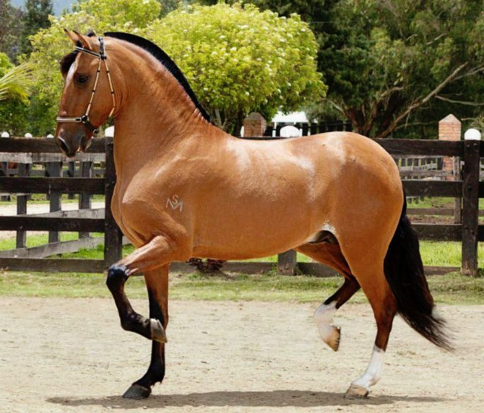 Paso Fino Trote y Galope stallion, Premio Mayor De San Marcos. Note the cropped mane in proper show style, as well as the diagonal gait as compared to the standard lateral Paso Fino.