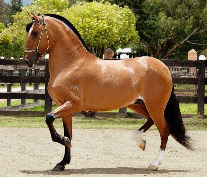 Paso Fino Trote y Galope stallion, Premio Mayor De San Marcos.