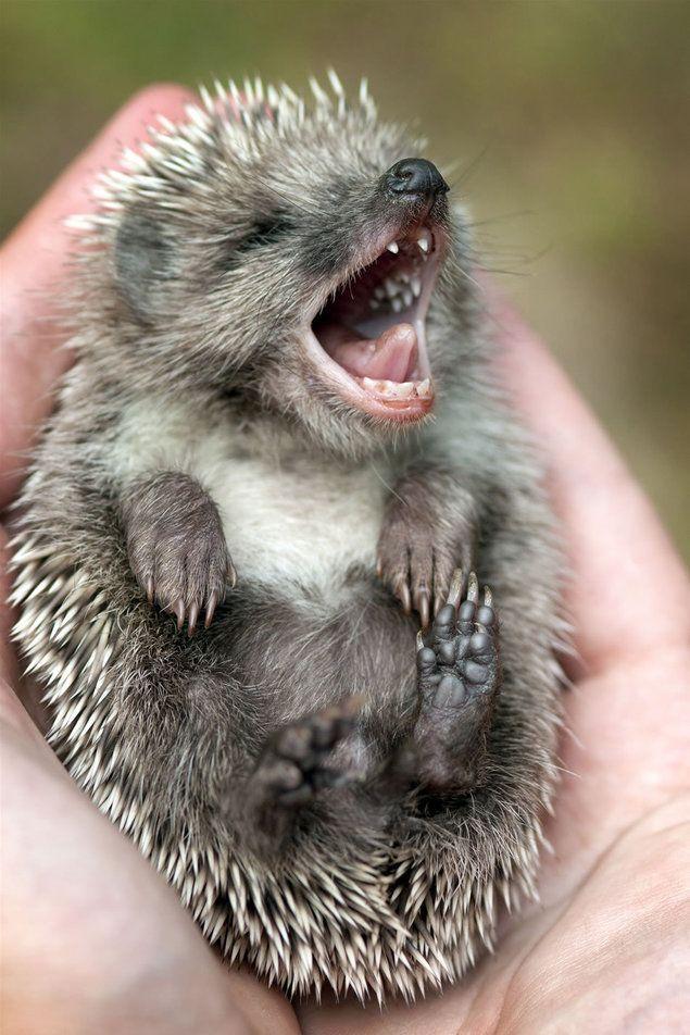 cutest little one -pygmy hedgehog