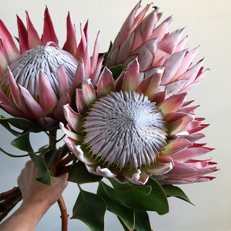 king protea to the max - photo by camelback flowershop