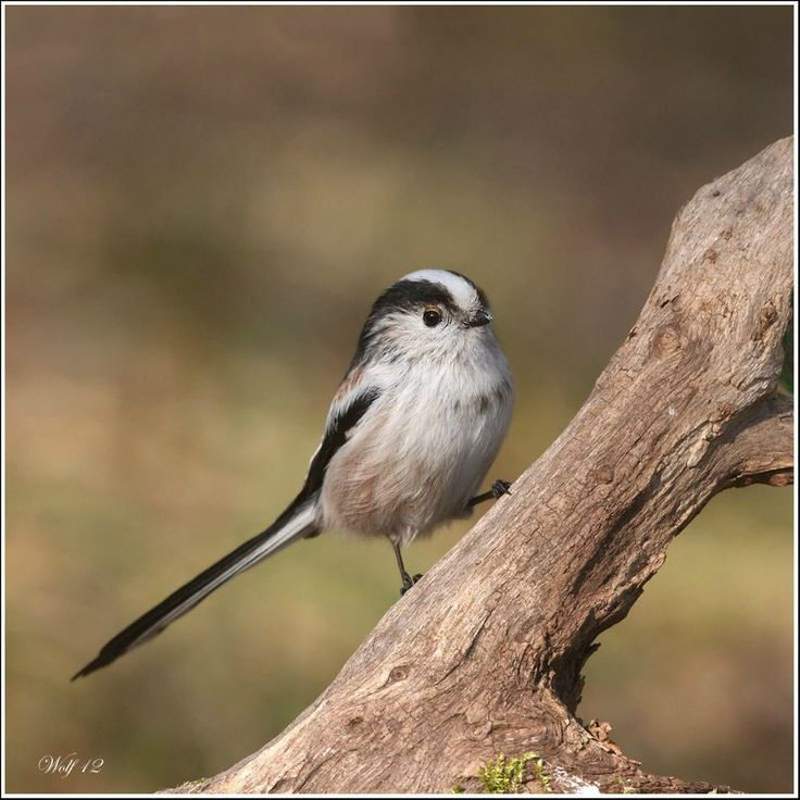 Les 20 meilleures images du tableau oiseaux de notre for Oiseaux de belgique reconnaitre