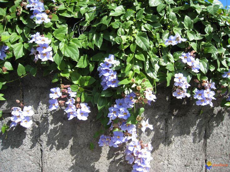 Blog do Ramon Lamar: Sobre plantas trepadeiras(tumbérgia azul)
