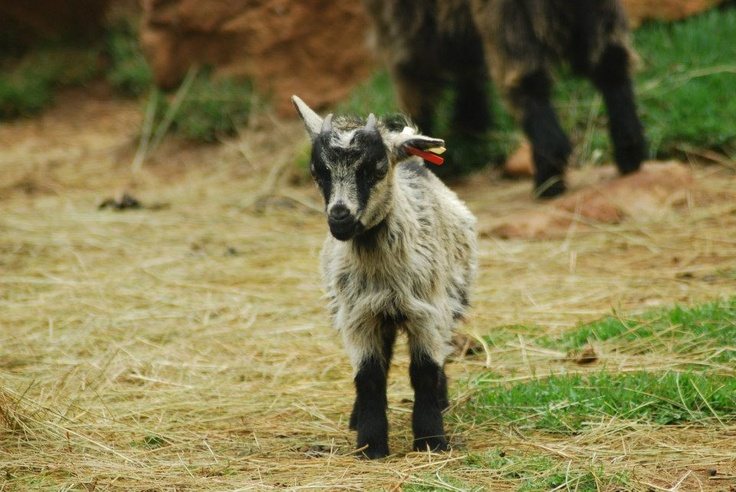 Baby mountain goat : Joburg Zoo, South Africa