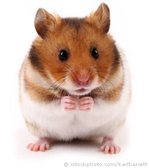 Things you might/might not know about your cute pet rodentia.  Hamsters shouldn't be given almonds as they contain cyanic acid.  Hamsters are not nocturnal but crepuscular, they are active in twilight.  An escaped hamster can be difficult to find.
