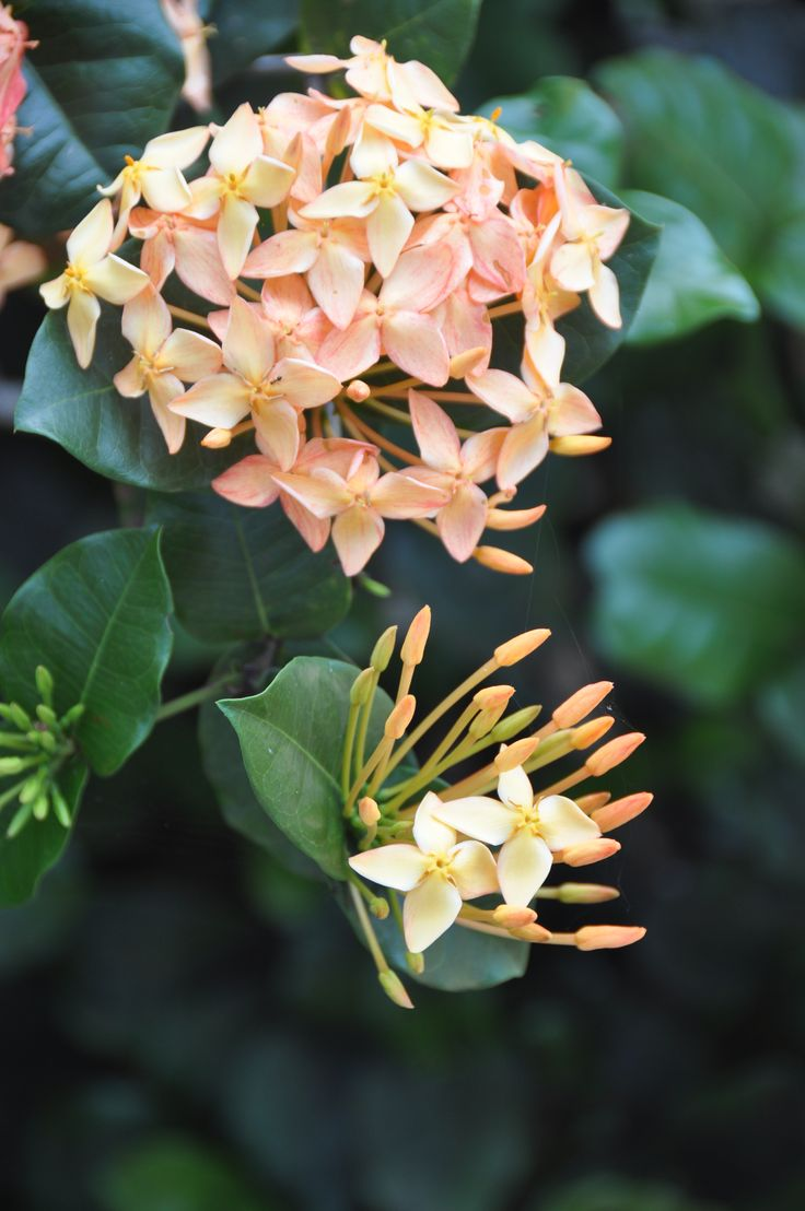 1000 Images About Bi Level Homes On Pinterest: 1000+ Images About Flowers Of Jamaica On Pinterest