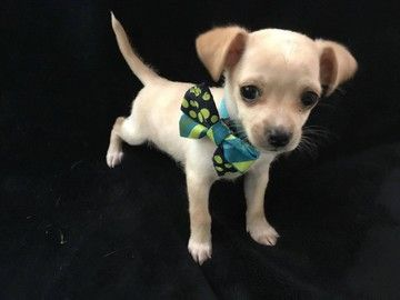 Check out Sam I Am's profile on AllPaws.com and help him get adopted! Sam I Am is an adorable Dog that needs a new home. https://www.allpaws.com/adopt-a-dog/chihuahua-mix-terrier/6760187?social_ref=pinterest