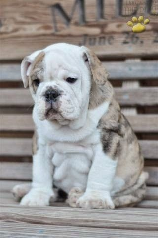 Best English Bulldog Chubby Adorable Dog - b080b4ee270a1c5cec9eeeb25146e047--cute-bulldogs-baby-bulldogs  Best Photo Reference_872542  .jpg