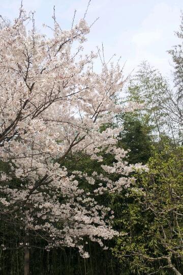 shortest timing spring flower in Korea
