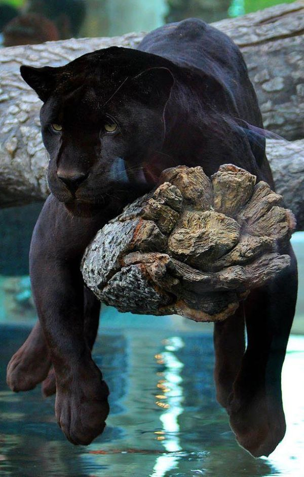 Black panthers are the most beautiful cats xxx........This is the real Bagherra (from Jungle book )