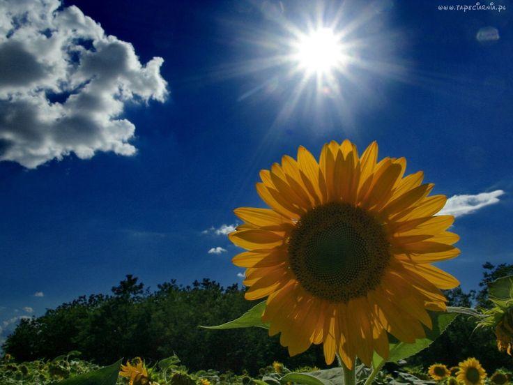 Słonecznik, Chmura, Słońce