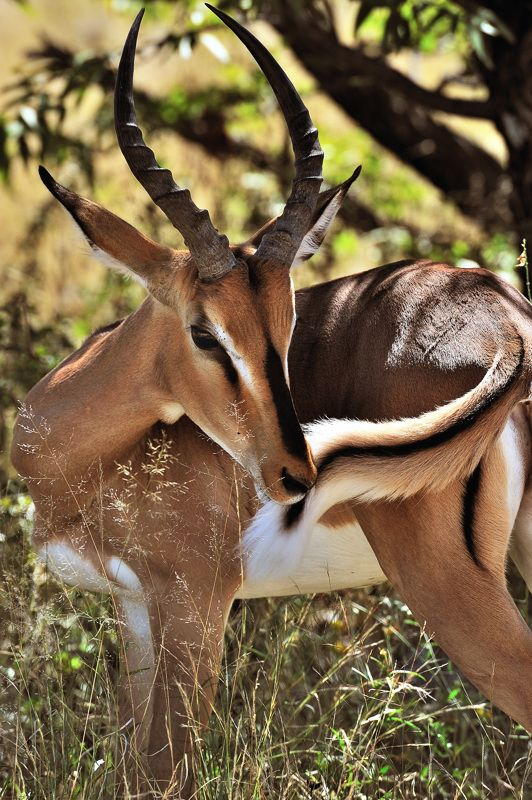 The black-faced impala (Aepyceros melampus petersi) isn't found anywhere else in the world other than Etosha, Namibia.  In the early 1970s, 200 black-faced impala were moved from the Kunene Region, where they were almost extinct, to Etosha. Forty years later, the population of black faced impala in Etosha is thriving, and at least 23 game farms have established small populations.  by Rosemary Walden