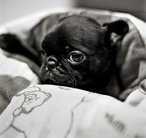 sweet black pug