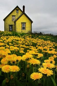 yellow house in a field scattered with rich golden dandelion, perfectly assembled!