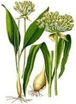 Allium sativum has been used for hardening of the arteries (atherosclerosis) and high blood pressure (hypertension). Garlic has also been used to prevent tick bites. Allium sativum (Lasunam) is an ingredient of HerbsDepot LIPORID